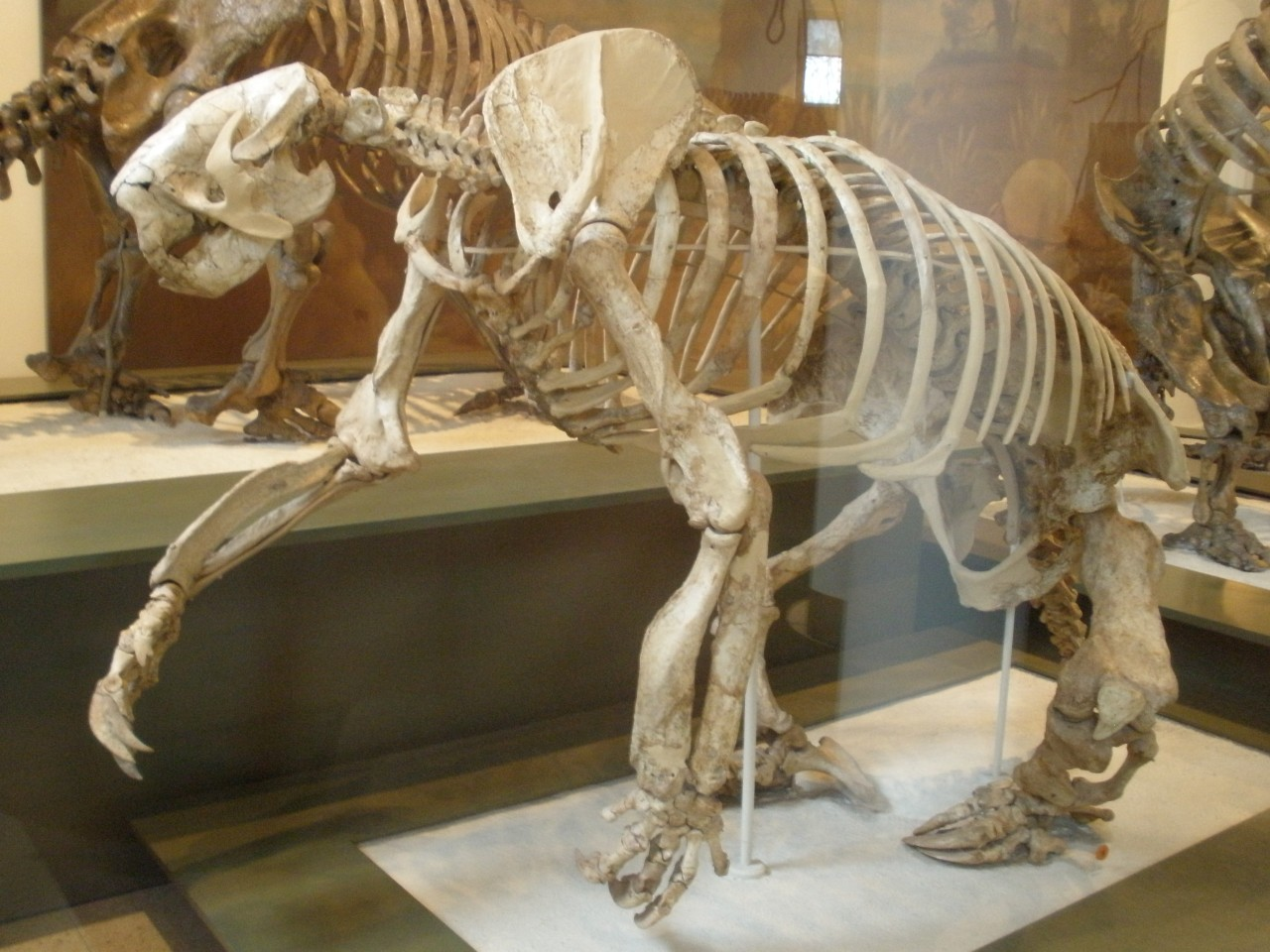 O megalonyx foi uma das criaturas extintas pelo cataclismo cósmico há 12.900 anos
