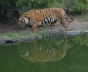 O tigre de bengala vive em Sundarbans